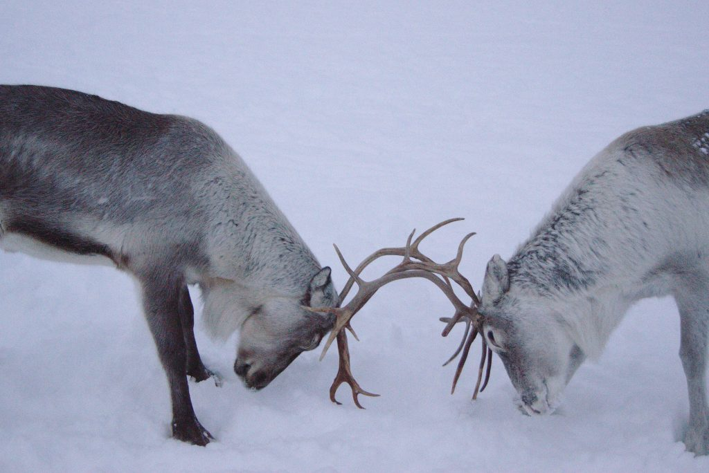 Reindeer fight