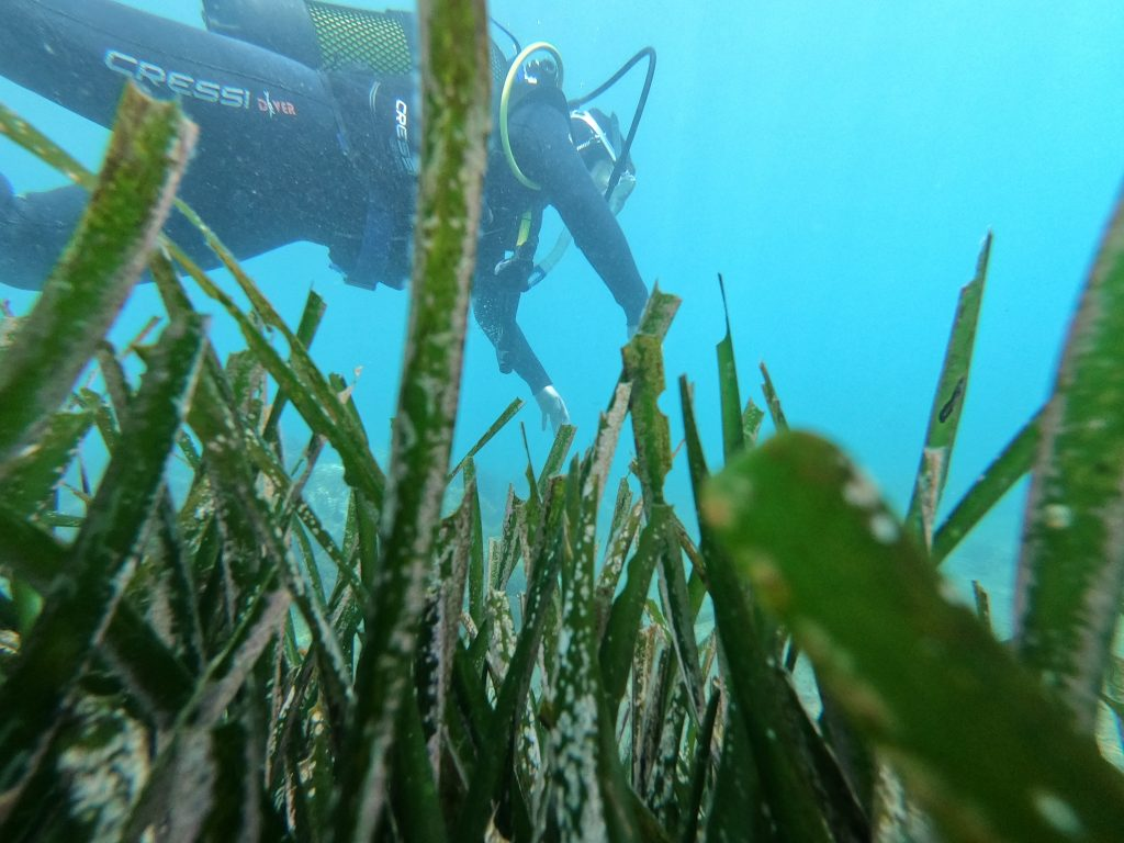 Scuba diving over the posidonia meadows